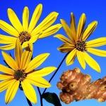 Топинамбур - лечебные свойства и рецепт оладьев из топинамбура