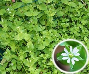 трава мокрица, лекарственный растения, рецепты здоровья