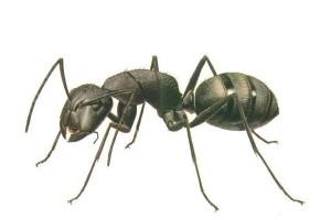 лечение насекомыми, жук знахарь, малярийный комар
