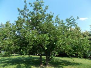 дерево шелковица, тутовник шелковица, шелковица лечебные свойства, плоды шелковицы, листья шелковицы