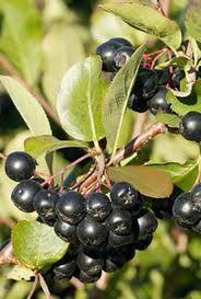 рецепты здоровья, черноплодная рябина лечебные свойства, черноплодная рябина, черноплодная рябина противопоказания, черноплодная рябина давление, арония, арония черноплодная