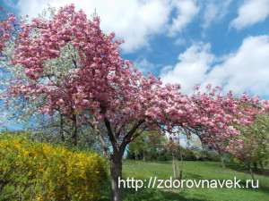 сакура, Sakura, сакура видео, прага +в апреле, символы японии, прага весной