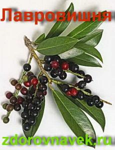 народные рецепты, полезные свойства, лавровишня, лавровишня смотреть, Prúnus laurocerásus, рецепты здоровья , целебные травы , красивое видео, видео советы