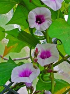 Цветок батата
