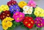 примула видео, Примула, Первоцвет, Prímula, ранние цветы, яркие цветы, очень красивые цветы, первые весенние цветы