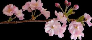 Красивое видео: природа, глициния, яблони, сакура